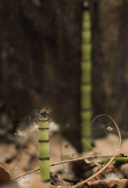 Паросток хвоща. Фото: Сергій Біленко