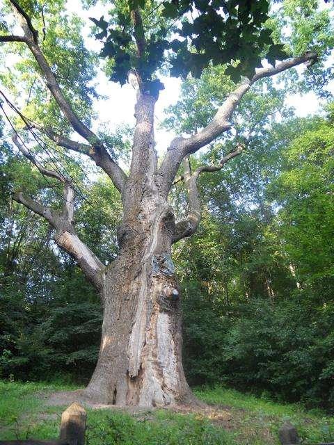 Тисячолітній дуб Максима Залізняка – головна родзинка хутора Буди