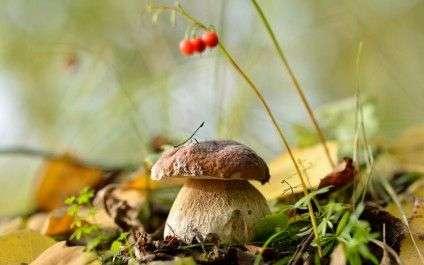 oboi-na-stol.com-295011-priroda-priroda-listya-les-belyy-grib-osen-sentyabr-griby