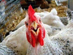 1425137902_chicken-300x225