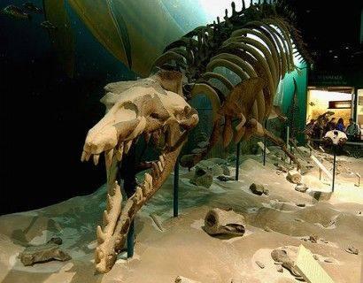 Basilosaurus_skeleton