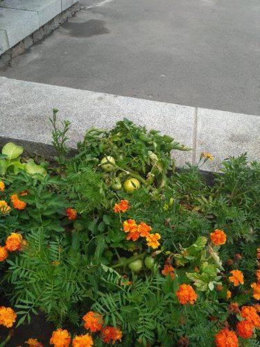 """На клумбі в центрі Умані """"квітують"""" помідори (фотофакт)"""
