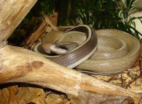 Колекція Черкаського зоопарку нараховує близько 40 видів змій