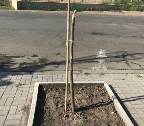 В Умані невідомі нищать молоді дерева