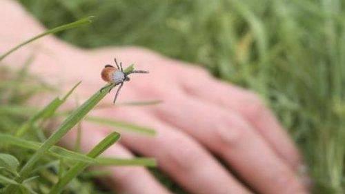 Атака кліщів: на Черкащині збільшився рівень захворюваності на хворобу Лайма