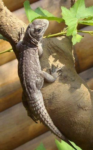 У Черкаському зоопарку налічується понад 13 видів ящірок (фото)