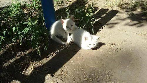 Черкаські волонтери шукають родину для маленьких кошенят (фото)