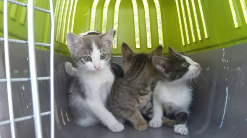 У Черкасах маленькі кошенята чекають на свою родину