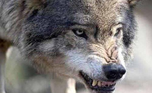 У Черкаському зоопарку загинув молодий вовк