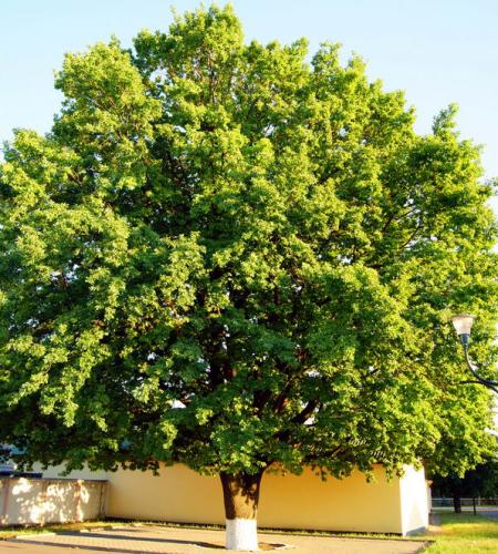 Смілянські дуби можуть стати об'єктами природно-заповідного фонду