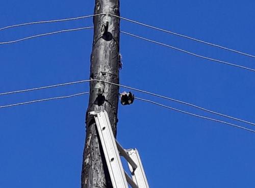 На Черкащині врятували дятла, який заплутався в електродротах