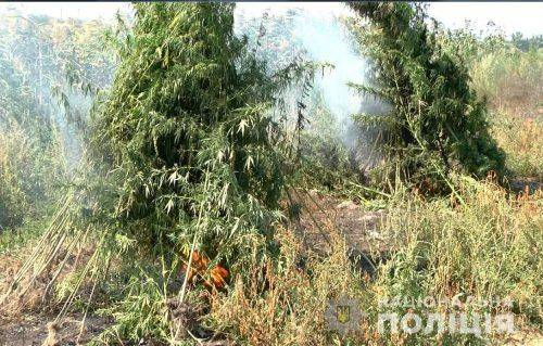 Черкаські правоохоронці виявили плантацію гігантської коноплі (фото, відео)