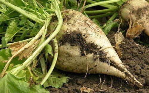 На Черкащині не очікується зниження врожаю цукрових буряків