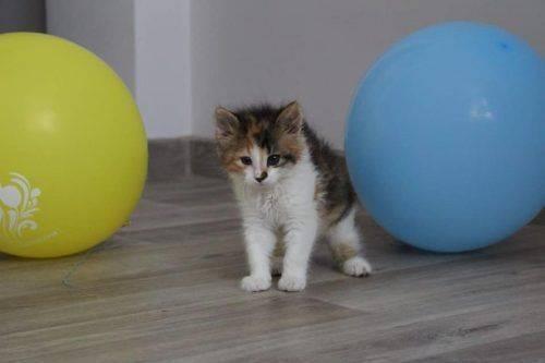 Черкаські волонтери шукають родину для маленького кошеня (фото)