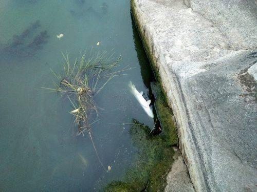 Через нестачу кисню у річці Рось на Черкащині гине риба (фото)