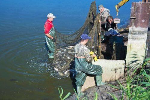 Для зариблення Дніпра черкаські рибалки придбають 45 тонн малька