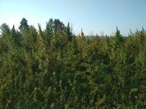 На Черкащині СБУ знищила масштабну плантацію конопель (фото)