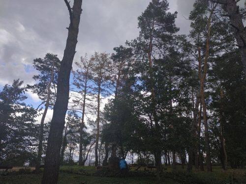 У парках Черкас масово всихають сосни (фото)