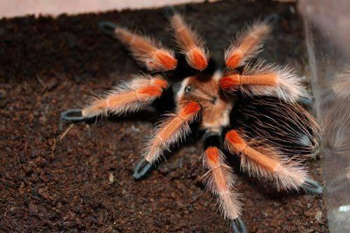 У Черкасах відбудеться виставка павуків-птахоїдів