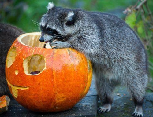 Черкаський зоопарк запрошує містян на святкування Дня гарбуза