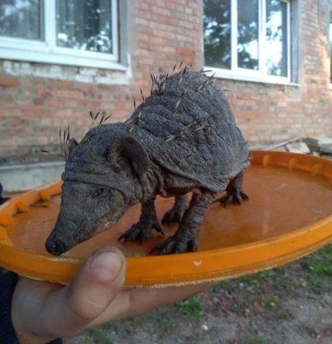 Їжак, на якого натрапили на Черкащині, вразив зоологічну спільноту України (фото)