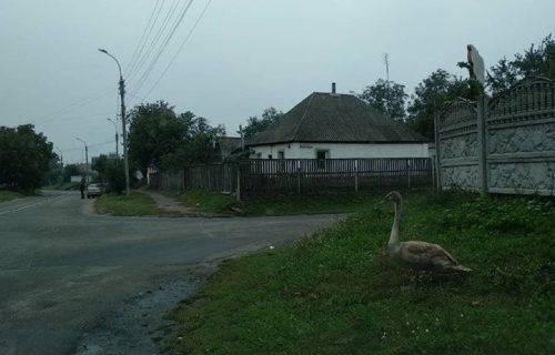 Комунальники повернули до домівки лебедя, який заблукав на вулицях Золотоноші