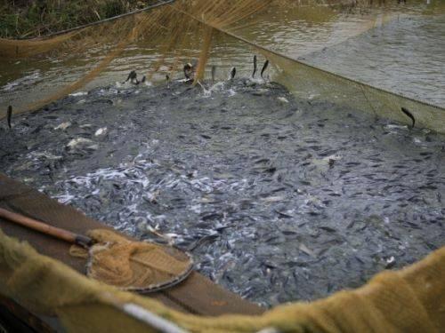 До водойм Черкащини планують випустити понад 30 тонн малька
