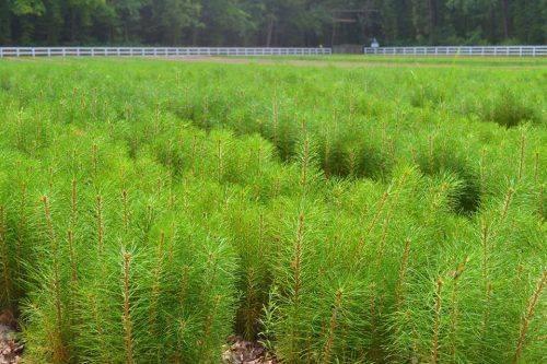 У розсадниках Черкащині зростає майже 10 млн сіянців лісоутворюючих порід (фото)