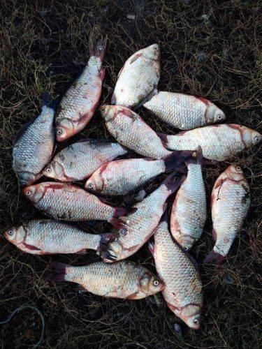 За тиждень на Черкащині браконьєри наловили майже півтонни риби (фото)