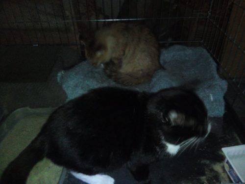Черкащан прохають допомогти зібрати кошти на лікування тяжкохворих котів
