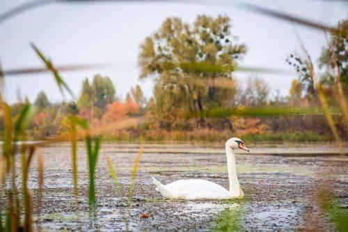 На одній із водойм Черкащини оселився білий лебідь (фото)