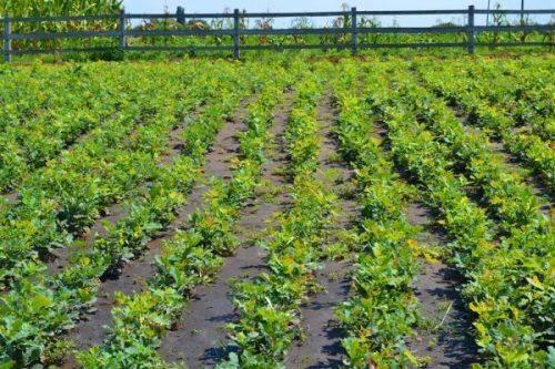 Чигиринські лісівники вирощують 150 тис. сіянців дуба