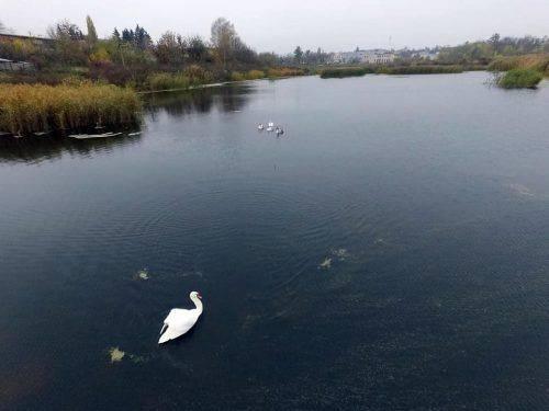 На одній із водойм Черкащини оселилося сімейство лебедів