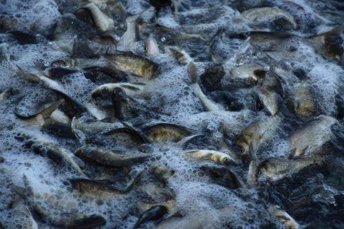 На Черкащині продовжується зариблення Кременчуцького водосховища