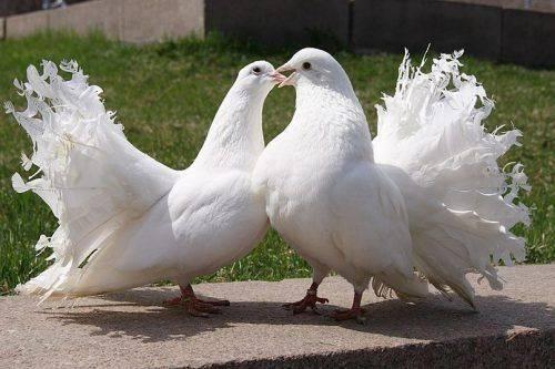 В Умані відбудеться виставка-ярмарок декоративної птиці