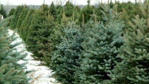 Лісівники Черкащини вже готуються охороняти плантації ялинок