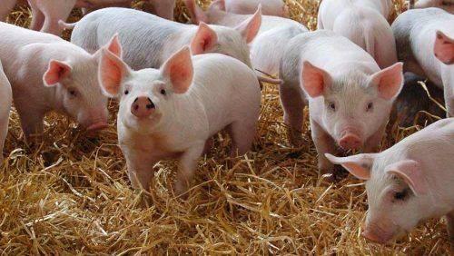 Жителі Черкащини стривожені масовою загибеллю свиней