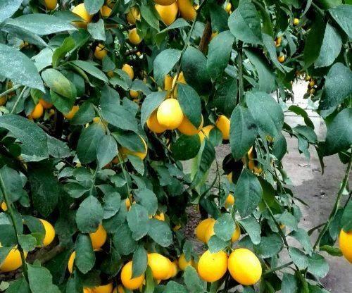 На Черкащині вирощують лимони Мейєра