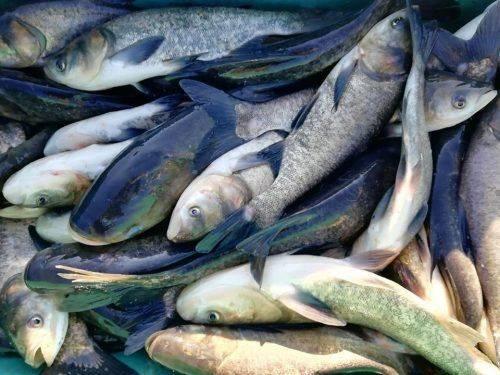 Цього року до водойм Черкащини випустили понад два мільйони екземплярів риби