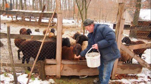 Уманський підприємець вирощує овець цінної породи