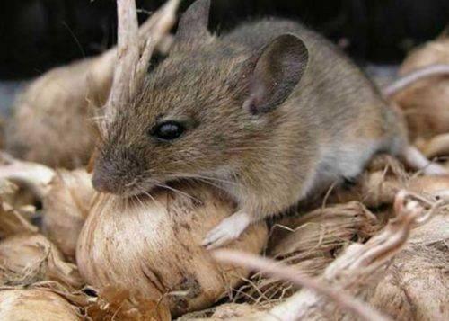 На Черкащині виявили гризунів, які є носіями особливо небезпечних хвороб