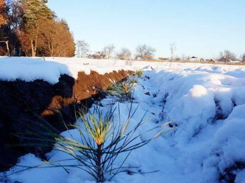 У лісництві на Черкащині висадили понад три гектари сосни кримської