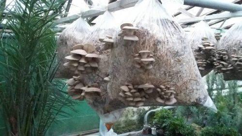 Лісівники Черкащини збирають взимку гриби (фото)