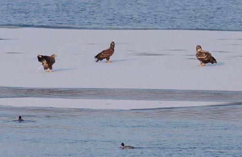 Неподалік Канева посеред Дніпра зимує кілька сімей лебедів-шипунів