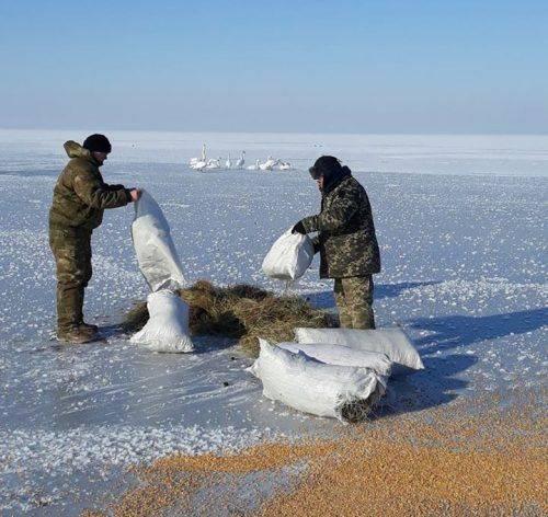 На Черкащині рятували лебедів, які примерзли до криги