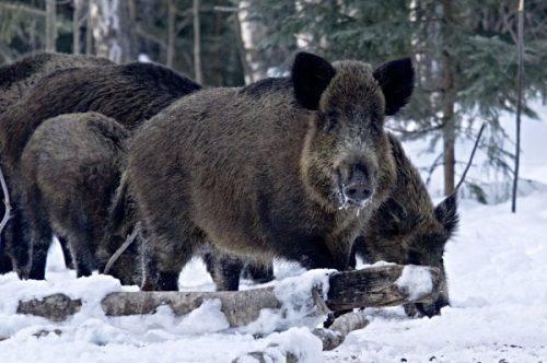 На Черкащині розпочався облік диких тварин