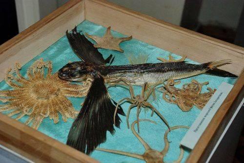 У Черкаському краєзнавчому музеї з'явилася летюча риба
