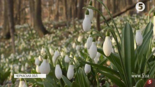 Історія проліска: як червонокнижна рослина з'явилася в Холодному Яру (відео)