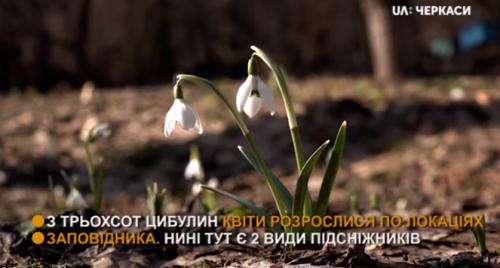 На Черкащині розпустилися підсніжники (відео)
