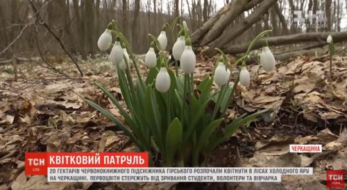На Черкащині вівчарка охороняє первоцвіти разом із волонтерами (відео)